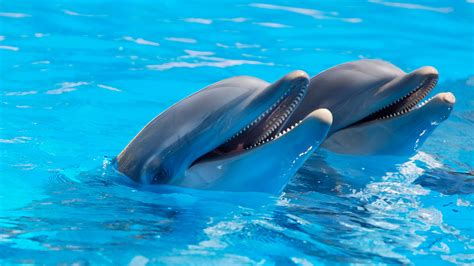 Bottlenose dolphins Wallpapers Images Photos Pictures